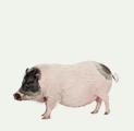 photo pigs